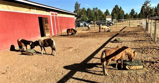 Five miniature horses eating from hay pillow slow feeders on the ground.