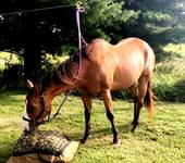 Horse on camping high line eating from Hay Pillow slow feeder hay bag