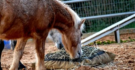 Miniature horse eating from a Hay Pillow on the ground