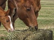 Mare and two foals eating from a Slow Feed Bale Net.