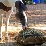 Horse eating from Hay Pillow Slow Feed Hay Bag on the ground