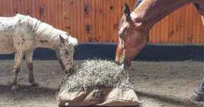 Horses eating from Hay Pillow slow feeder bag on the ground.