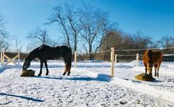 horses in snow grazing from ground slow feed hay bag