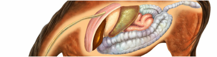 Illustration of the equine digestive tract